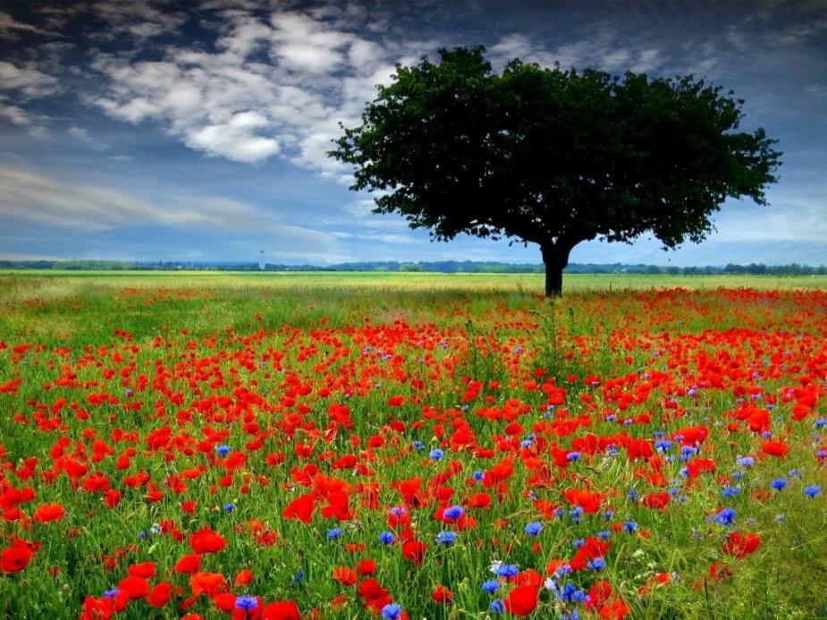 campo_con_flores_rojas