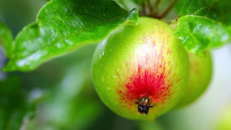 468510938-cultivo-de-frutas-manzano-colgar-manzana